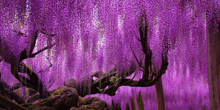 144-годишната глициния в Япония Поради огромния размер на тази глициния, са поставени стоманени прътове, за да поддържат разпостиращите се клони, които цъфтят в прекрасни розови и лилави нюанси. Хора от целия свят прииждат, за да минат под красивите цветове на глицинията, която се простира на забележителните 1990 квадратни фута.