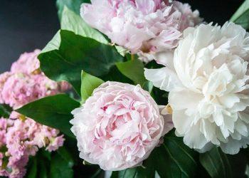 Божури. Пищните цветове на това най-прекрасно сред прекрасните цвете символзира късмета, щастливия брак, здравето и романтиката.